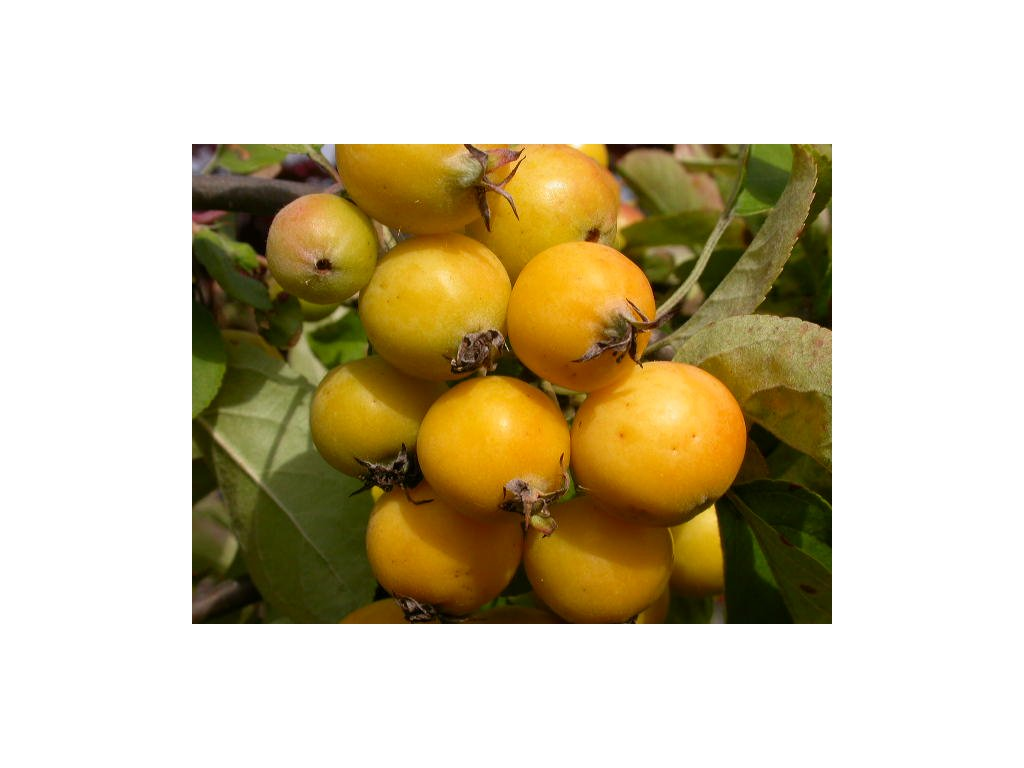 Malus Golden Hornet - okrasná jabloň