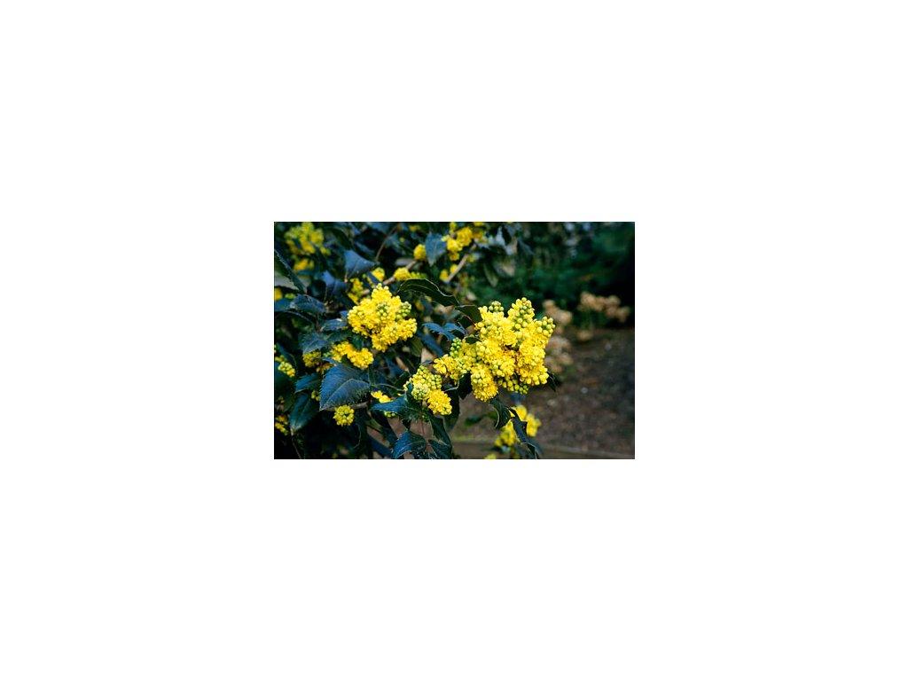 Mahonia aquifolium - Mahónie