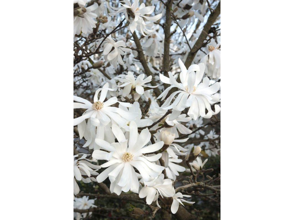 Magnolia stellata Royal Star - magnolie