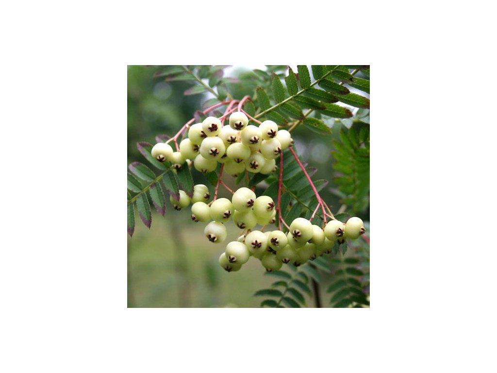 Sorbus koehneana - Jeřáb běloplodý