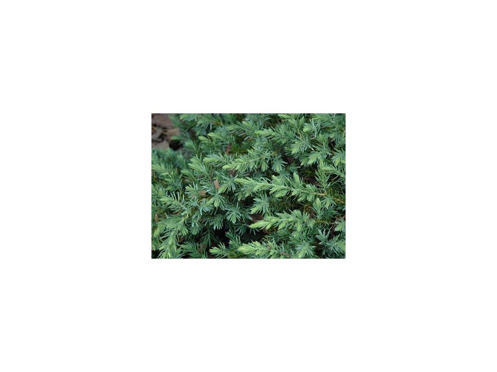 Juniperus conferta Blue Pacific - Jalovec