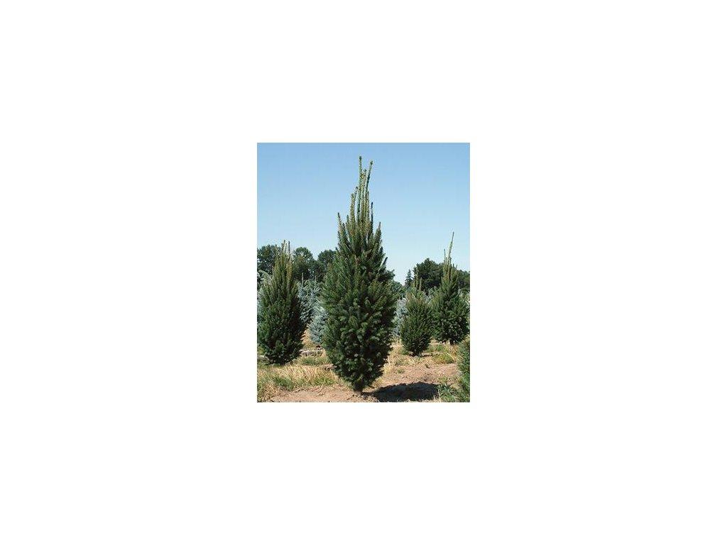 Picea abies Cupressina - kuželovitý smrk