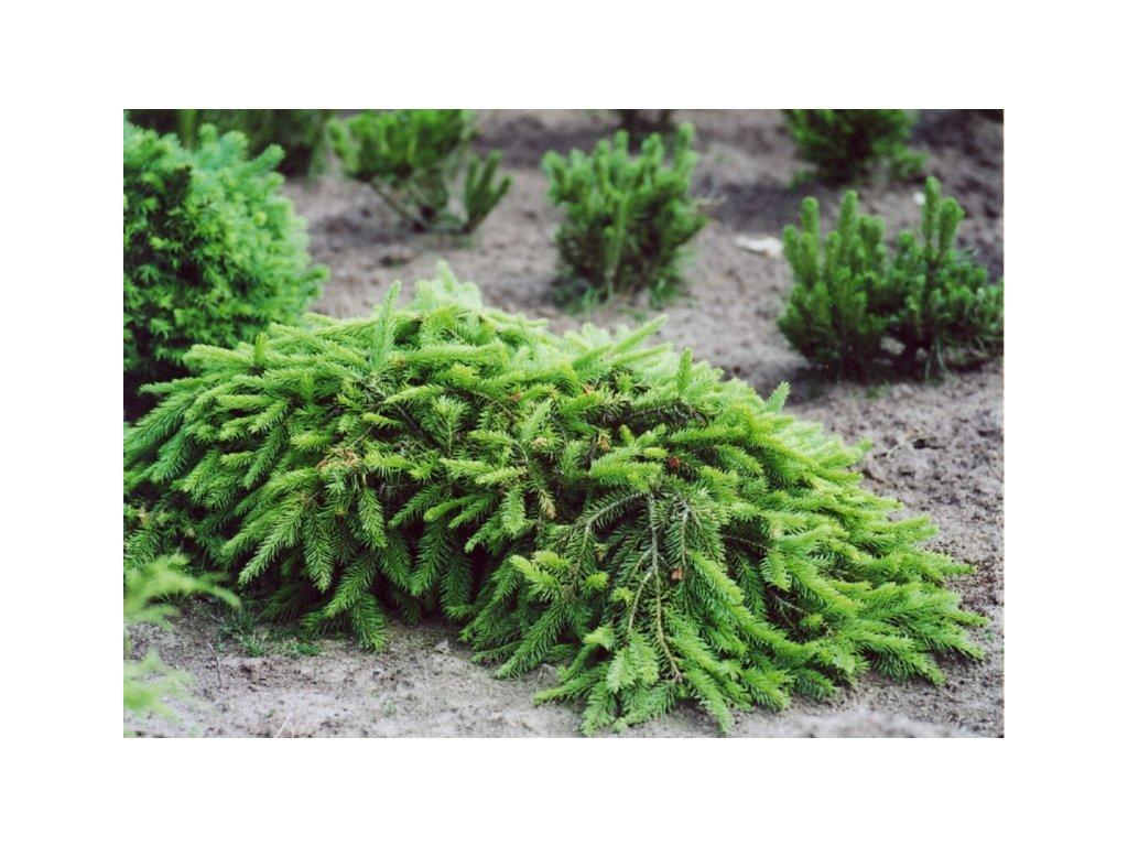 Picea abies Formánek - převislý smrk