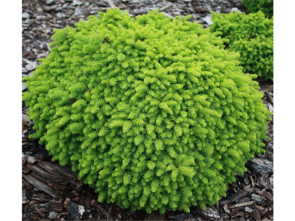 Picea abies Little Gem - zakrslý smrček