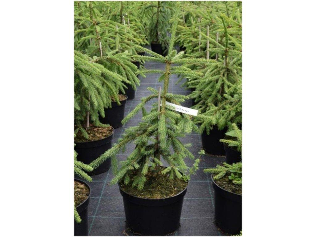 Picea abies Rothenhaus - smrk s kroucenými větvemi