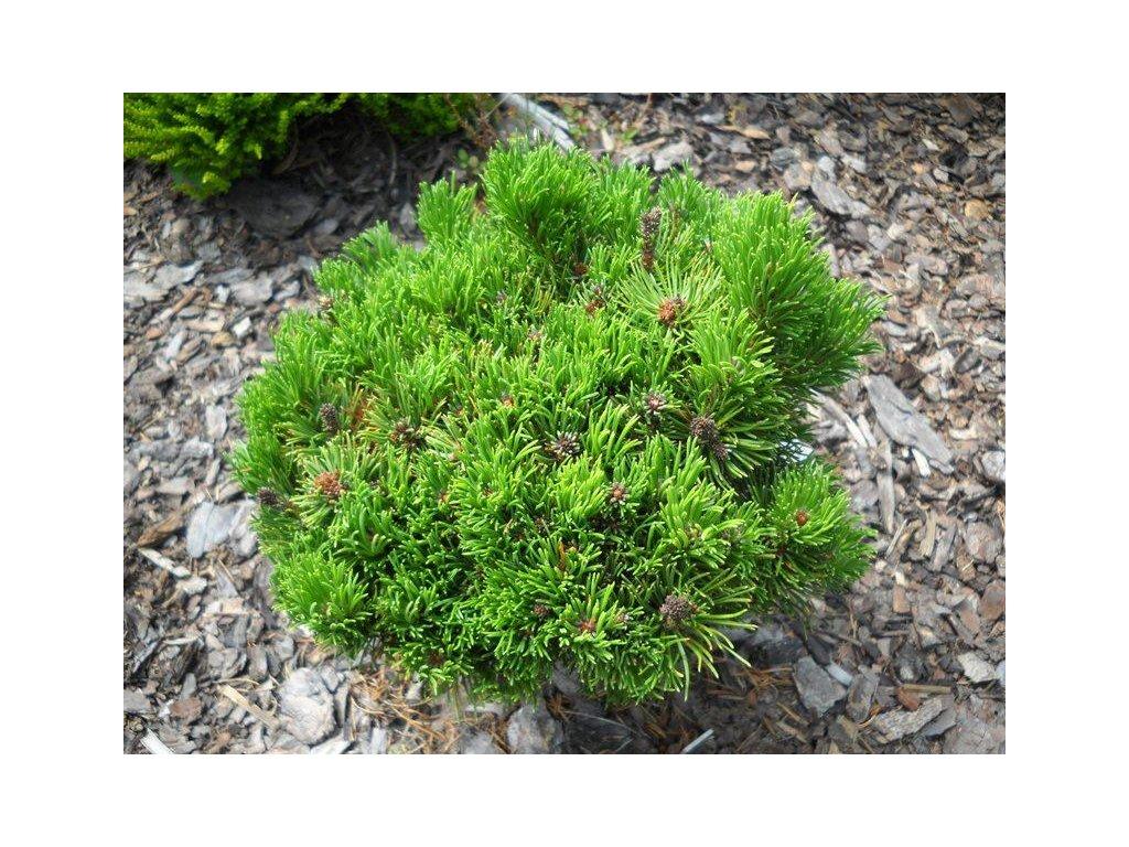 Pinus mugo Picobello - zakrslá borovice