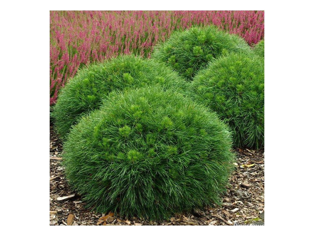 Pinus mugo Varella - zakrslá borovice