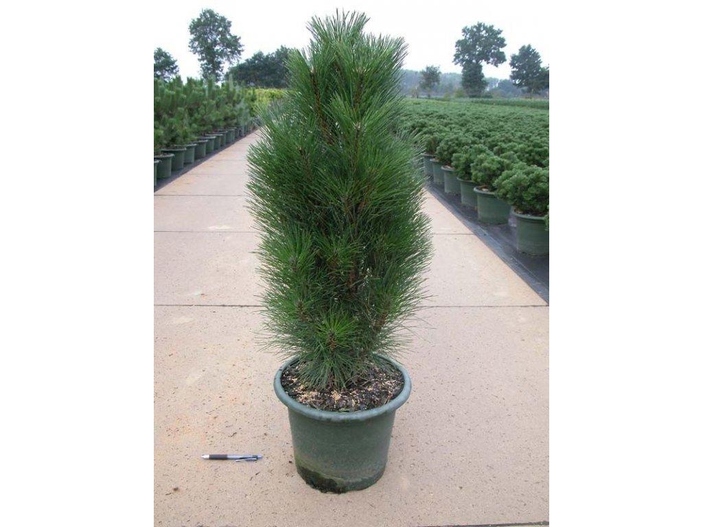 Pinus nigra Green Tower - sloupovitá borovice