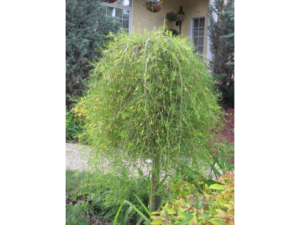 Caragana arborescens Walker - převislý čimišník