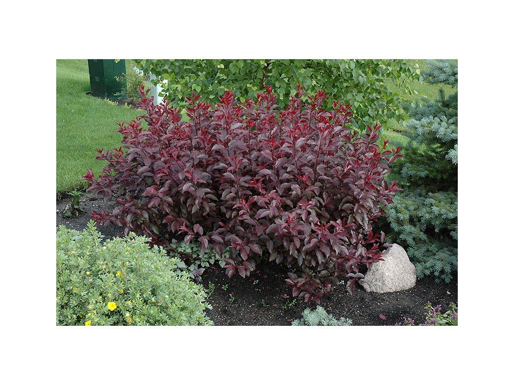 Prunus cistena - Okrasná slivoň