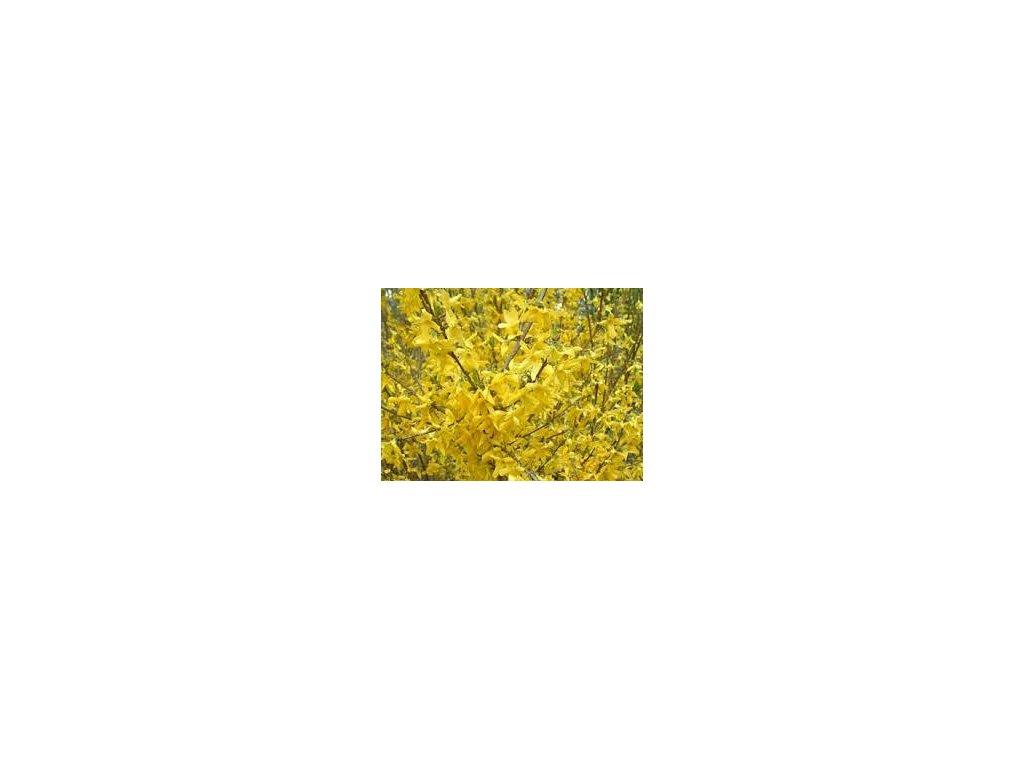 Forsythia intermedia Week-End - Zlatý déšť