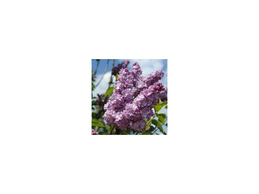 Syringa vulgaris Katharine Havemeyer - šeřík