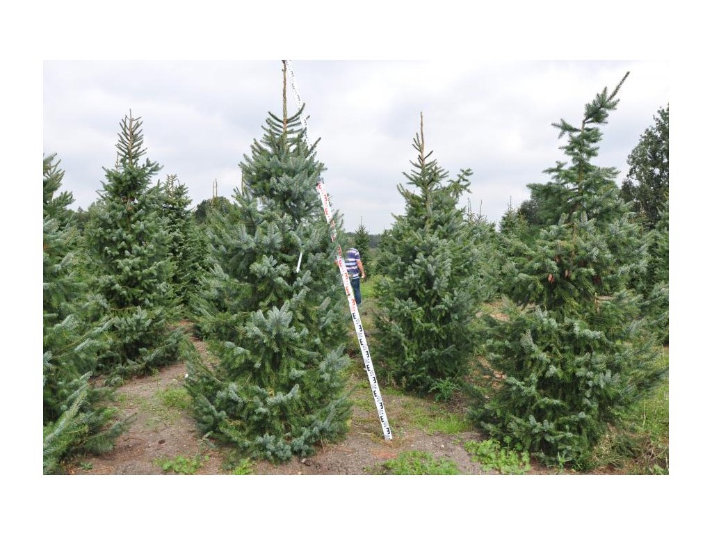 Picea omorika - smrk Pančičův