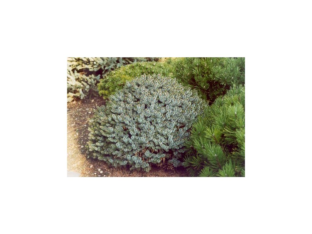 Picea omorika Morava - zakrslý smrk