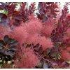 Cotinus coggygria Royal Purple a Lilla- Ruj vlasatá, červený list