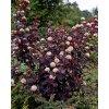 Physocarpus opulifolius Red Baron - Tavola, červený list