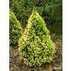 Picea glauca Daisy  White - Kónický smrk