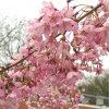 Prunus pendula Pendula Rubra - převislá višeň