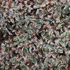 Cotoneaster x suecicus Juliette - skalník žíhaný list