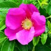 Rosa rugosa Rubra - Růže