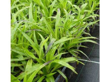 Luzula sylvatica - Bika lesní