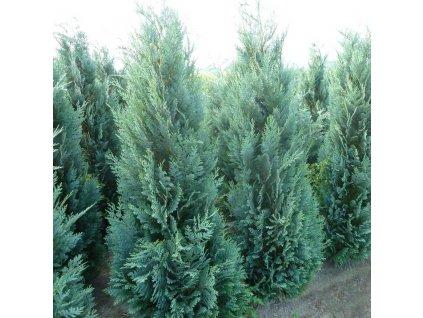 Lawsons Cypress Columnaris Glauca 2