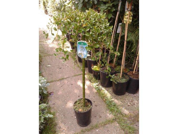 Salix arbuscula - Drobná vrba na kmínku