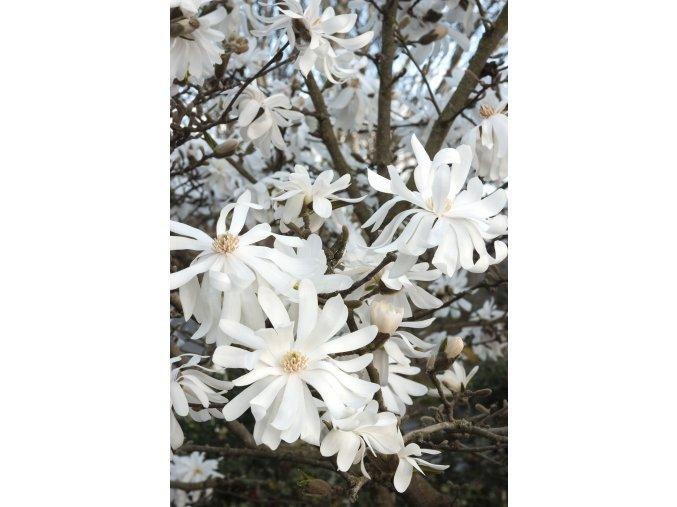 Magnolia stellata - magnolie