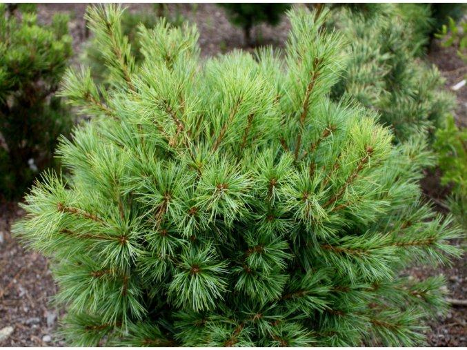 Pinus strobus 'Bergman's Mini'