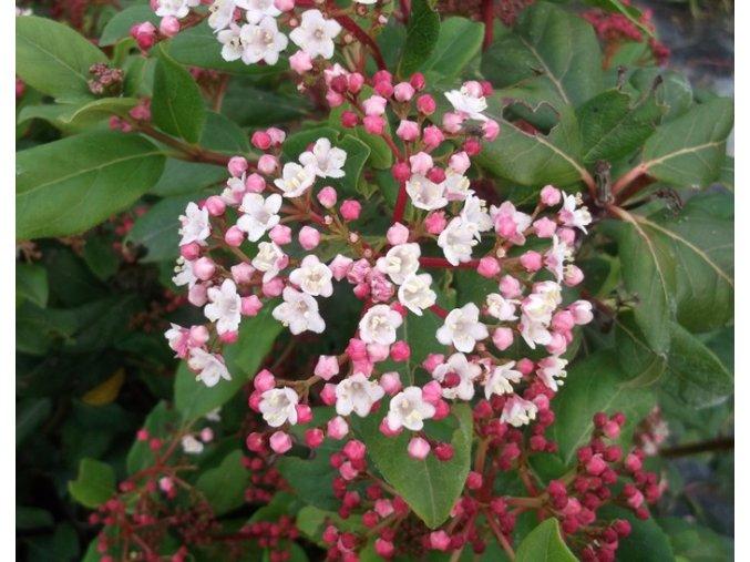 viburnum tinus gwenllian 9624 p