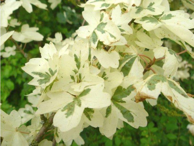Acer campestre Carnival - Javor