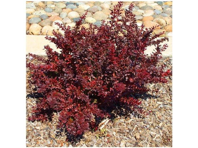 Berberis thunbergii Atropurpurea - Dříšťál červenolistý