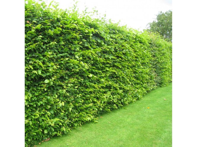 Carpinus betulus - Habr pro živé ploty
