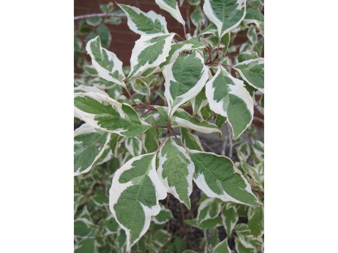Cornus alba Elegantissima - Svída, žíhaný list