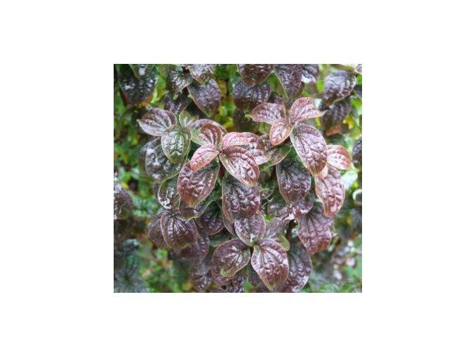 Cornus sanquinea Compressa - Svída vzpřímená, kmínek