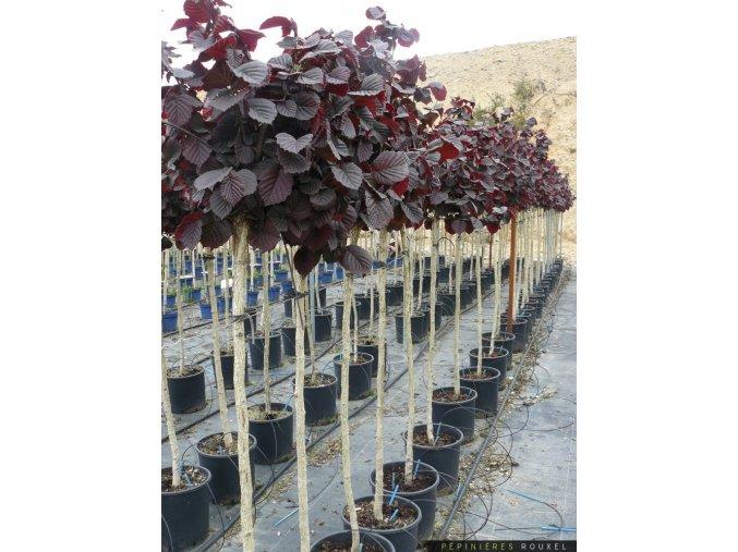 Corylus avellana Anny´s Red Dwarf - Líska červený list na kmínku