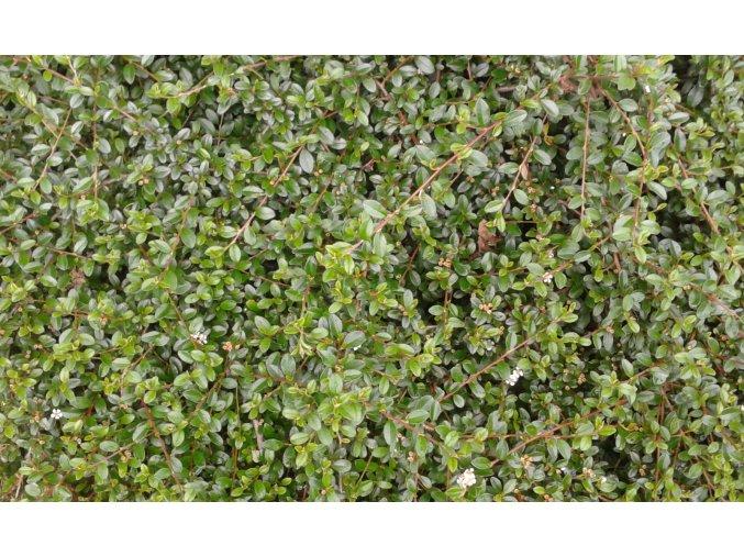 Cotoneaster dammeri Skogholm - skalník