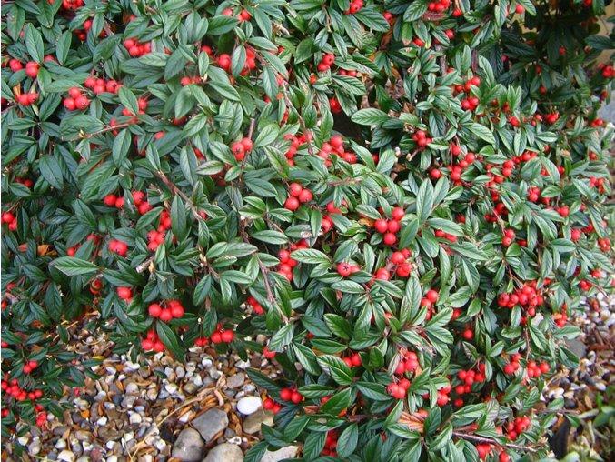 Cotoneaster salicifolius Parkteppich - Skalník na kmínku
