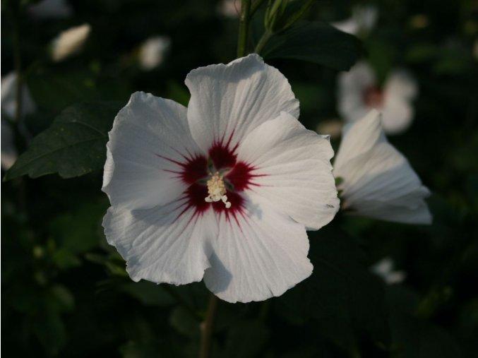 Hibiscus syriacus Hamabo - Ibišek