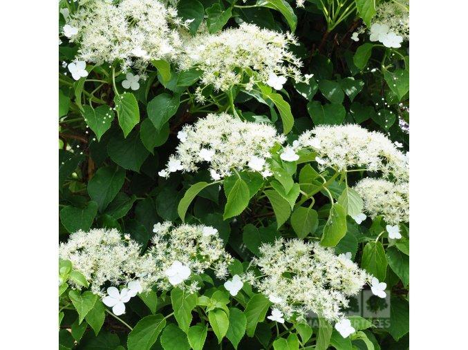 Hydrangea anomala Petiolaris - Popínavá hortenzie