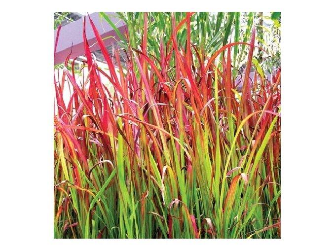 Imperata cylindrica Red Baron - Travina s červeným listem