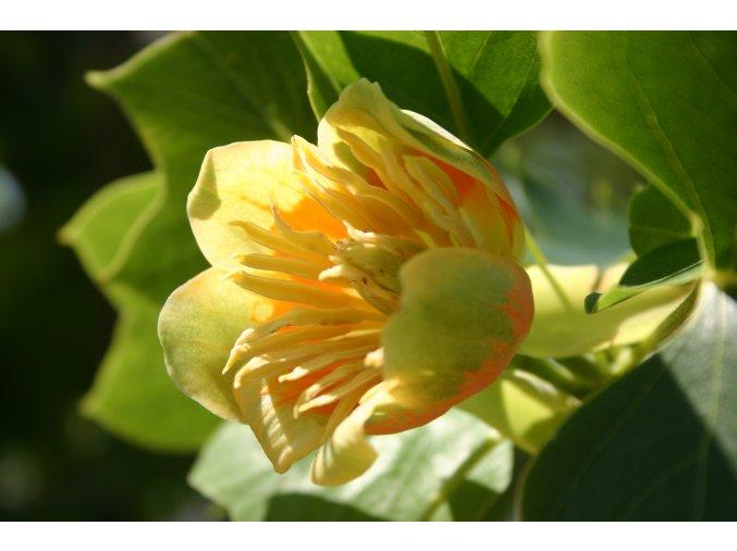 Liriodendron tulipifera - Liliovník tulipánokvětý