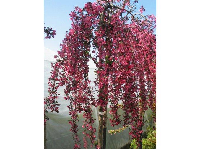 Malus Royal Beauty - Okrasná jabloň - převislá