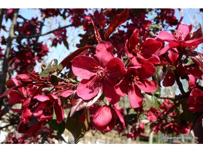 Malus Royalty - Okrasná jabloň