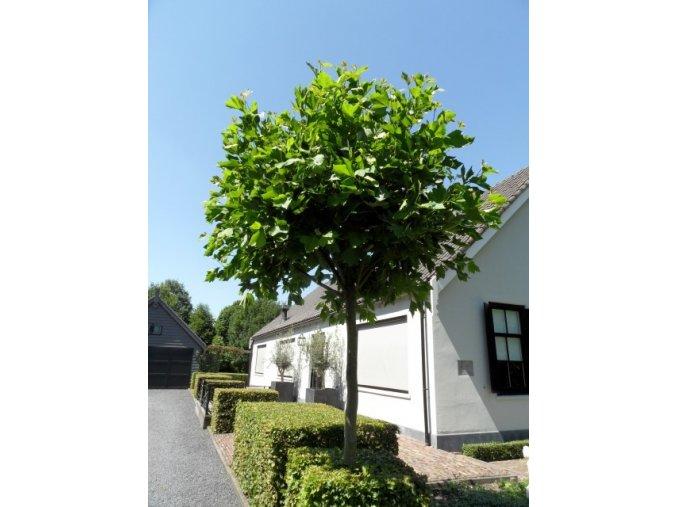 Platanus acerifolia Alphen´s Globe -Platan