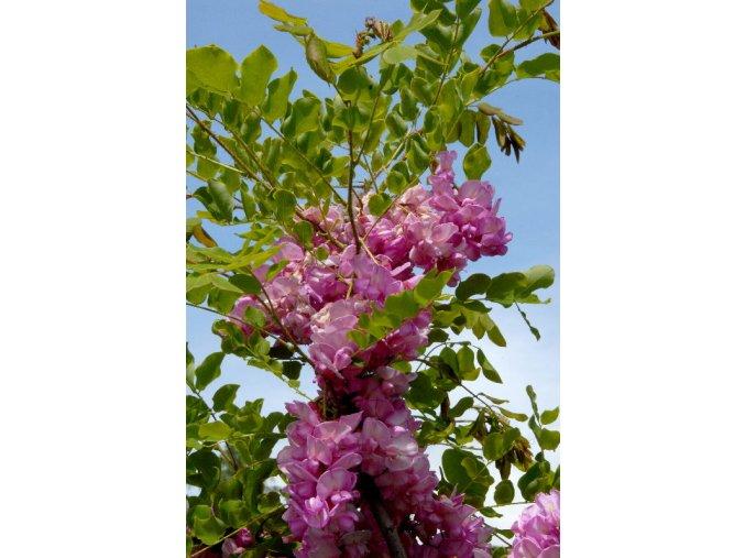 Robinia Casque Rouge - Akát, růžový květ