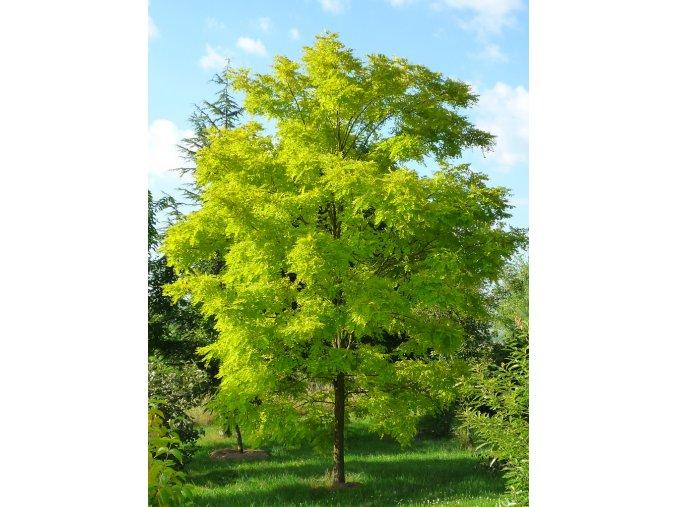 Robinia pseudoaccacia Frisia - Akát, žlutý list