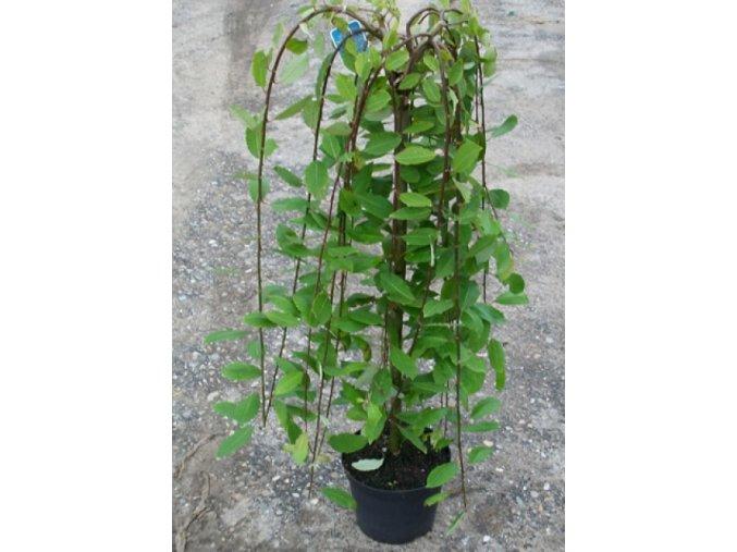 Salix caprea Pendula - Vrba převislá na kmínku