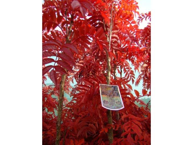 Sorbus aucuparia Autumn Spire - Jeřáb