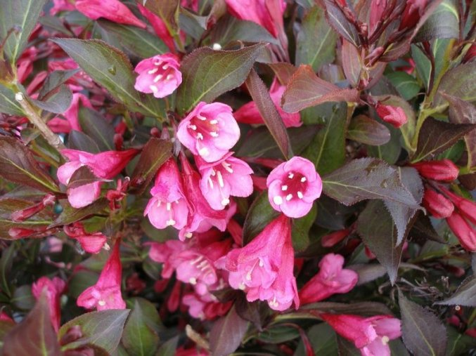 Weigela Nana Purpurea - Vajgélie, zakrslá, červený list